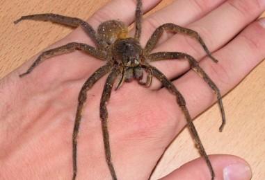 5 najopasnijih pauka