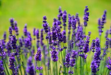 Lavanda- božanstvena biljka koja čisti tijelo i duh