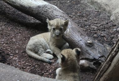 Lavica Nyota na svijet donijela dva mala kraljevska lava