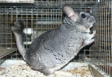 ZABRANA STUPILA NA SNAGU Stupio zakon o zabrani uzgajanja životinja za krzno
