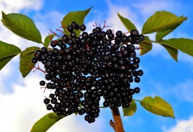 Ova biljka je jedan od najjačih antioksidansa na svijetu