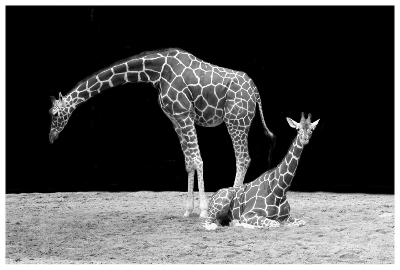 Kako žirafe spavaju?
