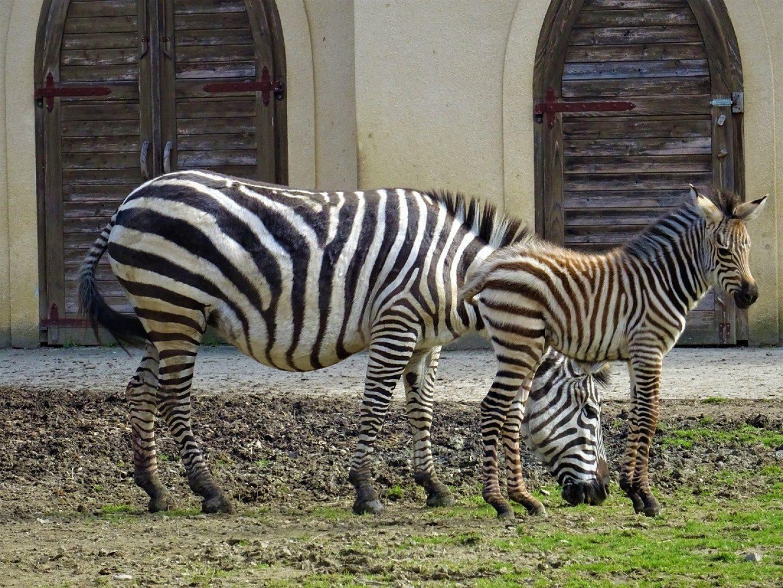 Zagrebački zoo dobio mladunče zebre!