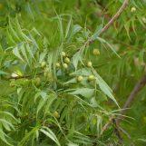 Čisto Neem ulje – Prirodni insekticid i bio stimulator za korištenje u poljoprivredi